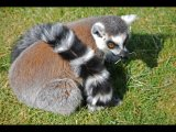 3 Soft and Fluffy Ring Tailed Lemur