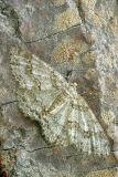 Engrailed Moth