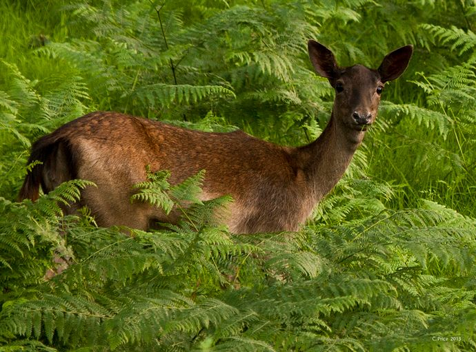 A visitor in the bracken