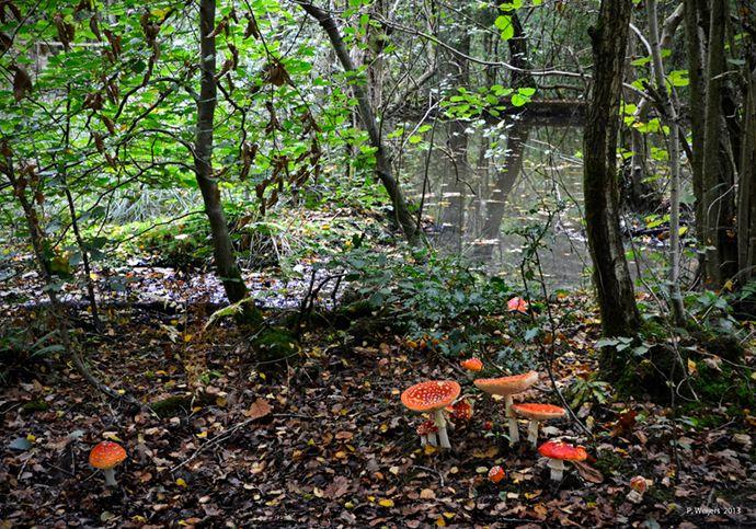 Autumn Mushrooms (Amanita Muscaria)