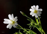 Backliit Stitchwort
