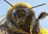 Bumblebee up close