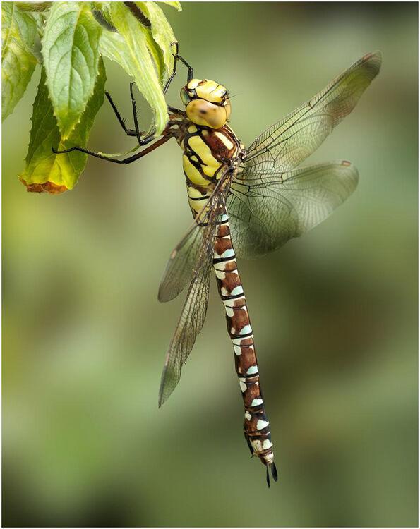 Female Southen Hawking Dragonfly