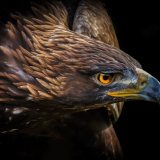 Portrait of an Eagle