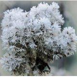 Winter-Dandilion