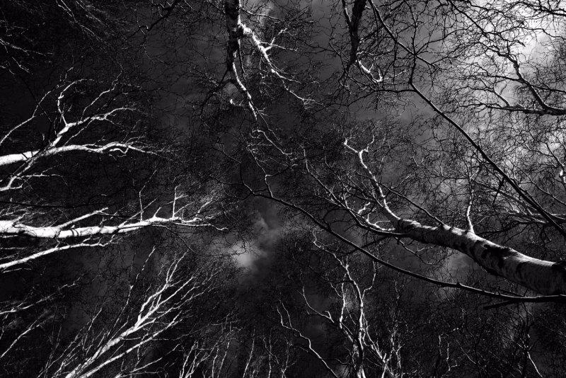 Silver Birch Sky 1