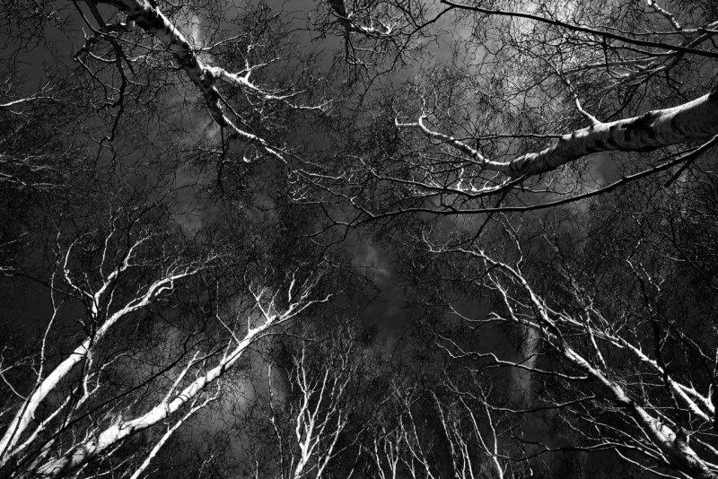 Silver Birch Sky 2.