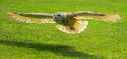 stephen edwards - Eagle Owl (scored 10)