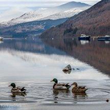 Loch Tay Ducks