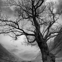 A Glencoe Tree