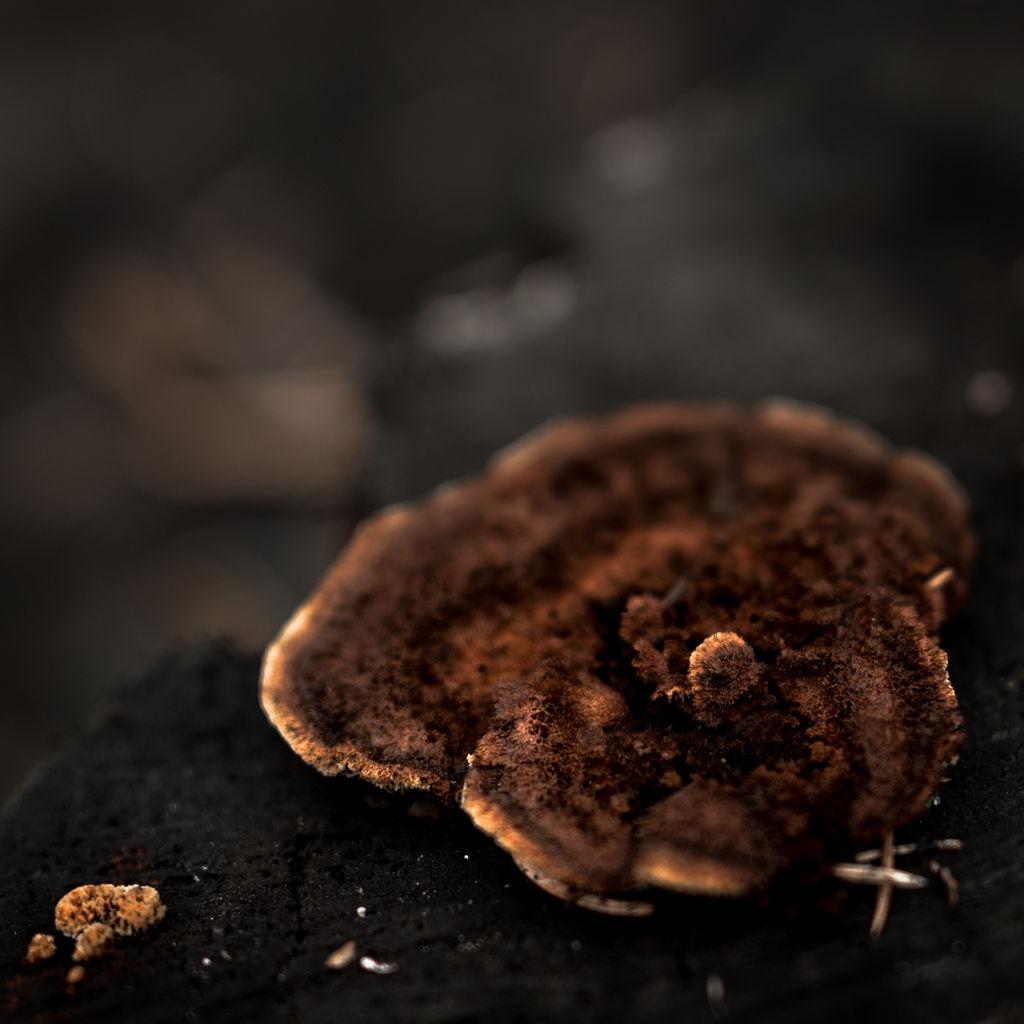 Brown Fungus