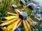 Frost on Daisies