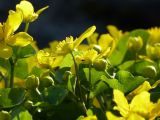Marsh Marigolds Unfurling