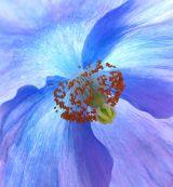 Meconopsis Poppy