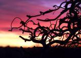 Twisted Hazel Sunset