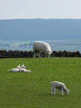 Lambs Lazing