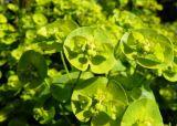 Acid Green Euphorbia