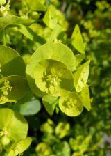 Euphorbia Shapes & Shadows