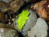 Trapped Oak Leaf