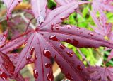 Rain on Acer