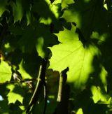 Sunlit Leaf Edge