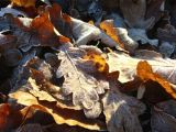 Frost and Sun on Oak Leaves