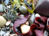 Seaweed Ribbons