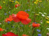Fluttering Poppy