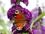 Peacock on Buddleia
