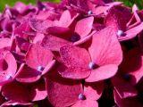 Dew on Hydrangea