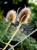 Spider-Webbed Teasels