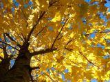 Golden Wonder