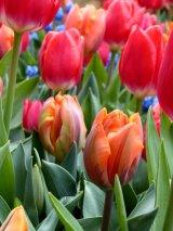 Tulip Multitude