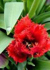 Spiky Tulip Dewdrop