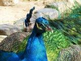 Resting Regal Peacock