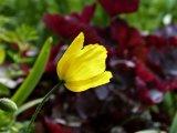 Yellow Poppy Frills