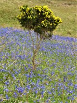 Gorse island in Bluebells