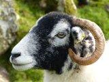 Felty-faced Sheep
