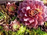 Pink Sempervivum against Green Moss