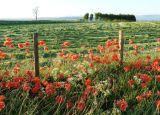 Poppies Near Ullswater