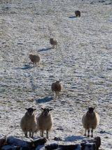 Nosy Sheep!