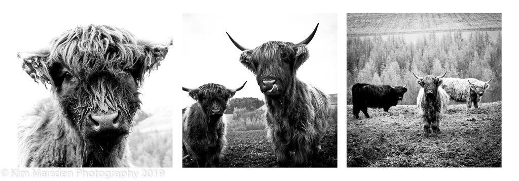 Highland Cattle Triptych
