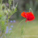 Poppy in bloom