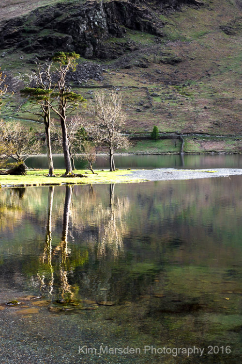 Buttermere tree reflections portrait