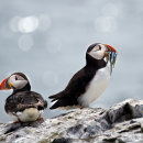 Puffin rejection