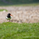 Oystercatcher in Swaledale