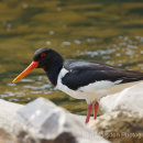 Oystercatcher on the River Swale