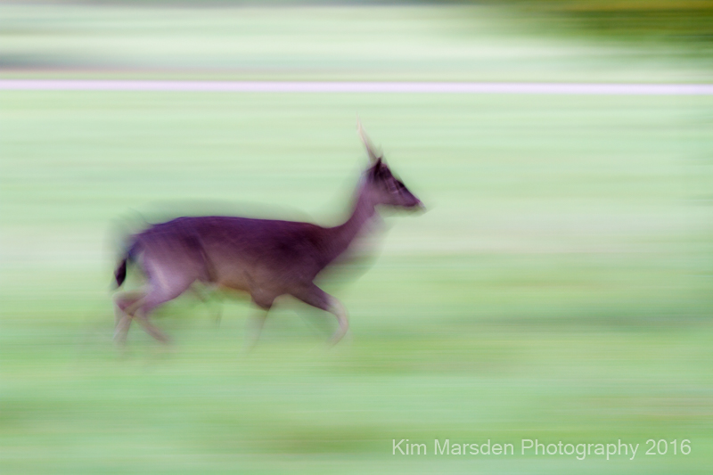Female Deer in a hurry