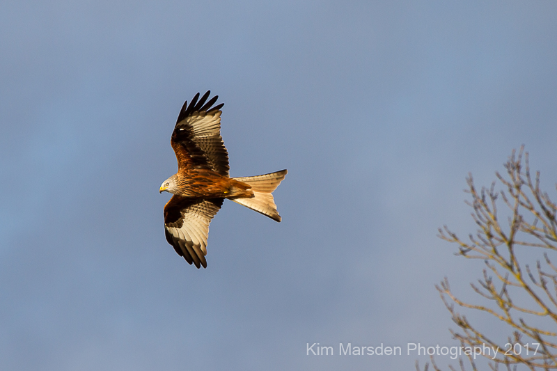 Red Kite over the Yorkshire Wolds