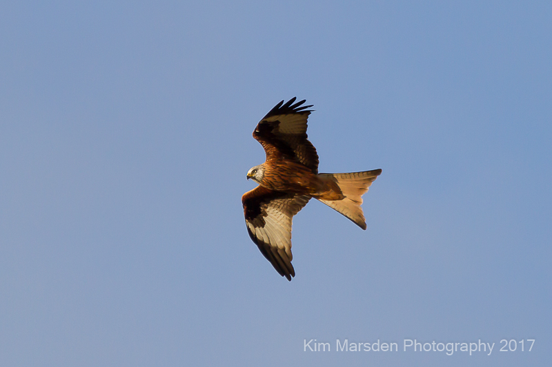 Red Kite coming back to roost